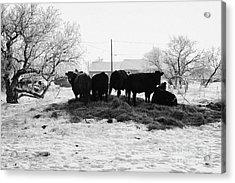 feed and fresh grass laid out for cows on winter farmland Forget Saskatchewan Canada Acrylic Print by Joe Fox