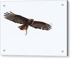 Female Red-tailed Hawk In Flight Acrylic Print by Carl Jackson