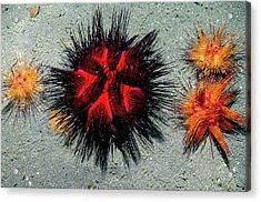 Fire Urchins Acrylic Print by Georgette Douwma