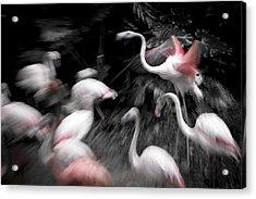 Flamingos Acrylic Print by Pan Xunbin