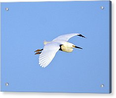 Florida, Venice, Snowy Egret Flying Acrylic Print by Bernard Friel