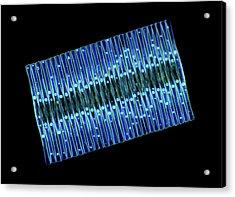 Fragilaria Diatoms Acrylic Print by Marek Mis