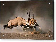Gemsbok Fight Acrylic Print by Johan Swanepoel