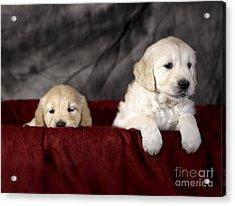 Golden Retriever Puppies Acrylic Print by Angel  Tarantella