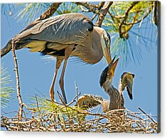 Great Blue Heron Adult Feeding Nestling Acrylic Print by Millard H. Sharp