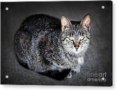 Grey Cat Portrait Acrylic Print by Elena Elisseeva