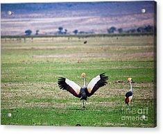 Grey Crowned Crane. The National Bird Of Uganda Acrylic Print by Michal Bednarek