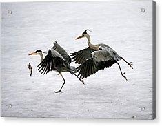Grey Herons Fighting Over A Fish Acrylic Print by Bildagentur-online/mcphoto-schulz