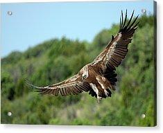 Griffon Vulture Acrylic Print by Nicolas Reusens