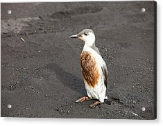 Guillemot Covered In Oil Acrylic Print by Ashley Cooper