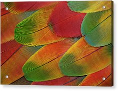 Harlequin Macaw Wing Feather Design Acrylic Print by Darrell Gulin