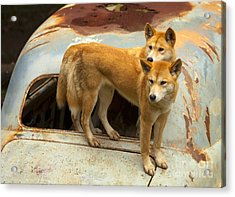 Hitching A Ride Acrylic Print by Mike  Dawson