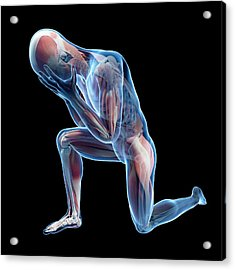 Human Muscular System Acrylic Print by Sebastian Kaulitzki