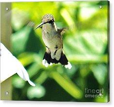 Hummingbird 1 2014 Acrylic Print by Judy Via-Wolff