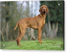 Hungarian Vizsla Dog Acrylic Print by John Daniels
