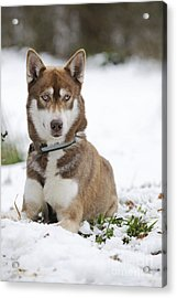 Husky In Snow Acrylic Print by John Daniels