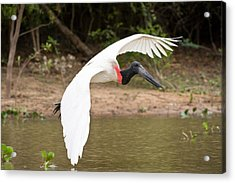 Jabiru Stork Jabiru Mycteria In Flight Acrylic Print by Panoramic Images