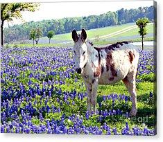 Jesus Donkey In Bluebonnets Acrylic Print by Linda Cox
