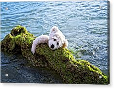 Just Hang On - Teddy Bear Art By William Patrick And Sharon Cummings Acrylic Print by Sharon Cummings