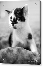 Kitten Dreaming Acrylic Print by Iris Richardson