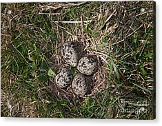 Lapwing Nest Acrylic Print by Marcus Bosch