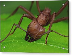 Leafcutter Ant Cutting Papaya Leaf Acrylic Print by Mark Moffett