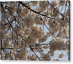 Low Angle View Of Cherry Blossom Acrylic Print by Panoramic Images