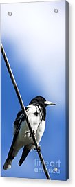 Magpie Up High Acrylic Print by Jorgo Photography - Wall Art Gallery