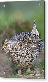 Male Columbian Sharp-tailed Grouse Acrylic Print by William H. Mullins