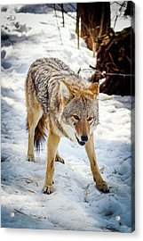 Male Coyote In Snow Acrylic Print by Paul Williams