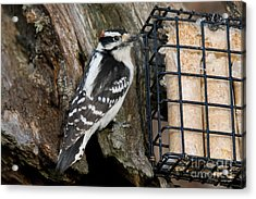 Male Hairy Woodpecker Acrylic Print by Linda Freshwaters Arndt