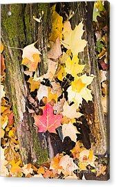 Maple Leaves Acrylic Print by Steven Ralser