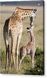 Masai Giraffe Giraffa Camelopardalis Acrylic Print by Panoramic Images