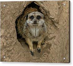 Meerkat Acrylic Print by Ernie Echols