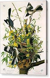 Mocking Birds And Rattlesnake Acrylic Print by John James Audubon