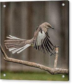 Mockingbird  Acrylic Print by Rick Barnard