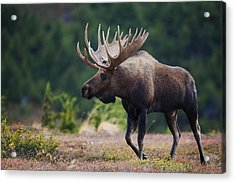 Moose Bull Walking On Autumn Tundra Acrylic Print by Milo Burcham