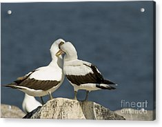 Nazca Boobies Preening Acrylic Print by William H. Mullins