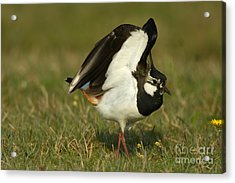 Northern Lapwing Acrylic Print by Helmut Pieper