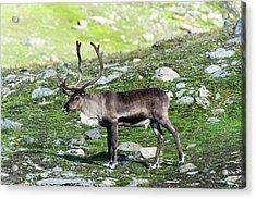 Norway, Troms Male Reindeer (rangifer Acrylic Print by Fredrik Norrsell