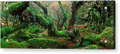 Oak Trees In A Forest, Wistmans Wood Acrylic Print by Panoramic Images