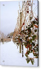Okanagan Valley Vineyards In Winter Acrylic Print by Kevin Miller