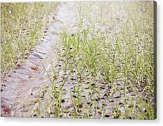 Organic Onion Crop Acrylic Print by Ashley Cooper