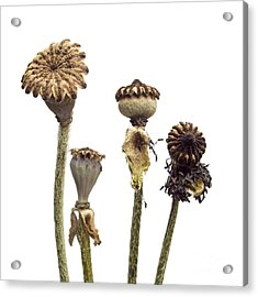 Oriental Poppy Acrylic Print by Bernard Jaubert