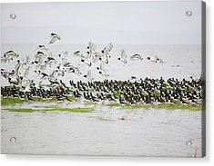 Oystercatchers Roosting At High Tide Acrylic Print by Ashley Cooper