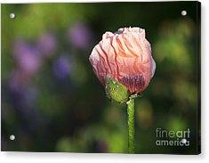 Papaver Orientale Carneum Poppy Acrylic Print by Tim Gainey