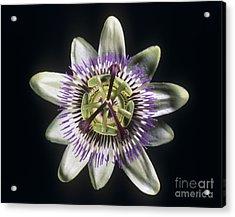 Passion Flower Acrylic Print by Martyn F Chillmaid