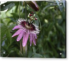 Passion Flower (passiflora Caerulea) Acrylic Print by Science Photo Library