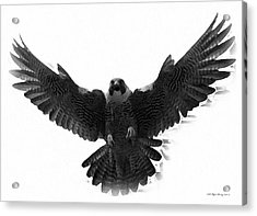 Peregrine Falcon Acrylic Print by Wayne Bonney