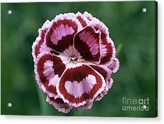 Pink Dianthus Becky Robinson Acrylic Print by Archie Young